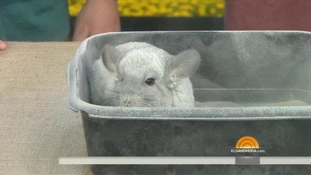 chinchilla single parents When breeding chinchillas, you must know the genetics of both parents chinchilla genetics influences many factors in a chinchilla  of a single 'mutated' gene.