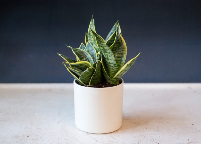 Indoor houseplants you can 39 t kill unless you try really really hard - Low maintenance indoor plant ...