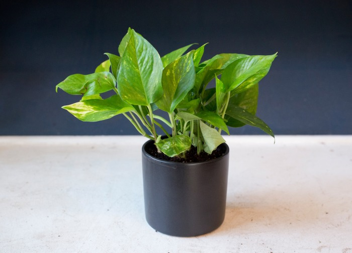 Indoor houseplants you can 39 t kill unless you try really for Low maintenance green plants