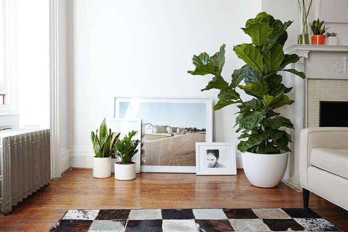 courtesy of the sill - Fiddle Leaf Fig Tree