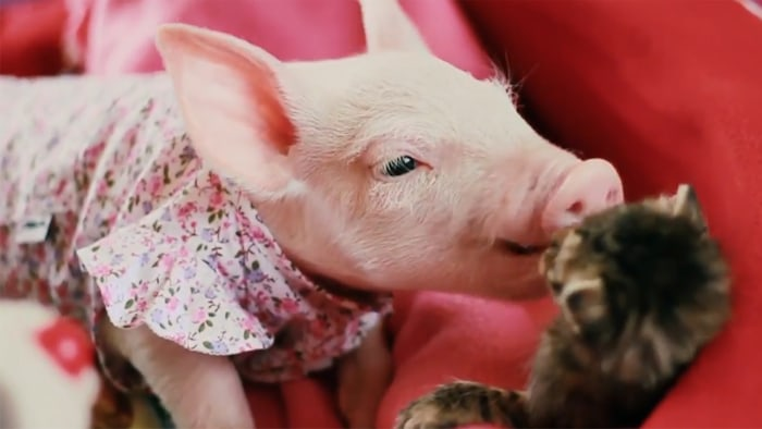 Adorably tranquil piglet and kitten cuddle in sweet ...