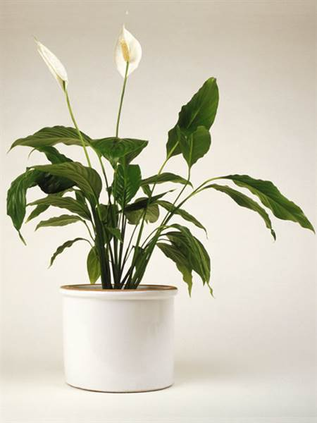 peace lily - Tall Flowering House Plants
