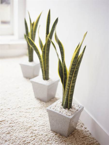 Gallery For Snake Plant Indoor