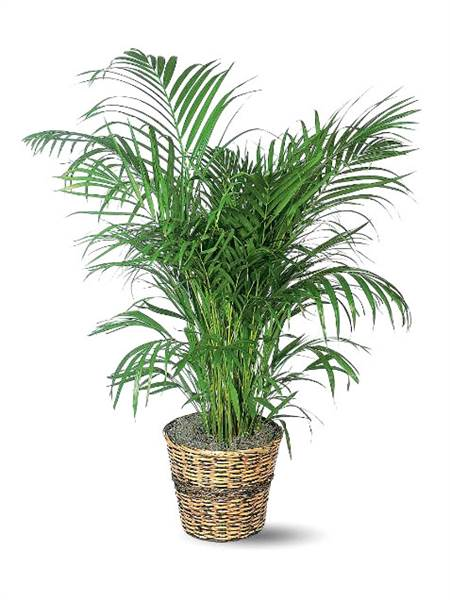 areca palm - Tropical House Plants