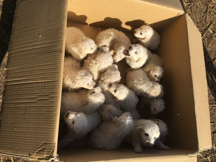 A Pile Of Puppies Sheepdog Gives Birth To Record Setting