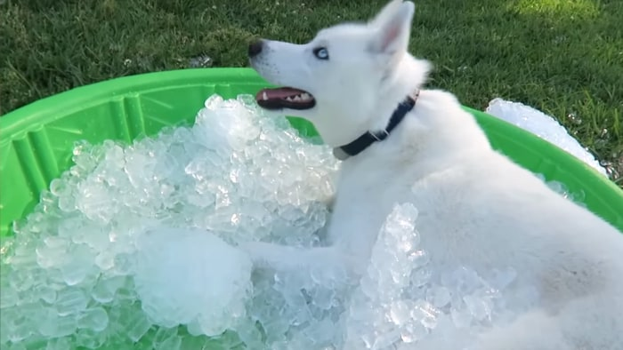 Siberian Husky Freaks Out Over A Kiddie Pool Full Of Ice