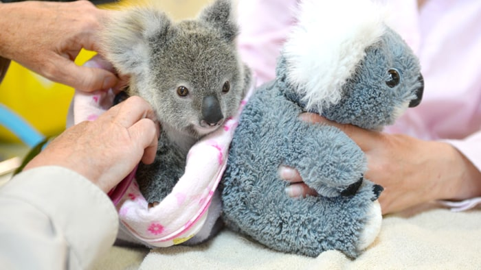 Orphaned baby koala cuddles stuffed animal after losing mom - Pictures of koalas and baby koalas ...