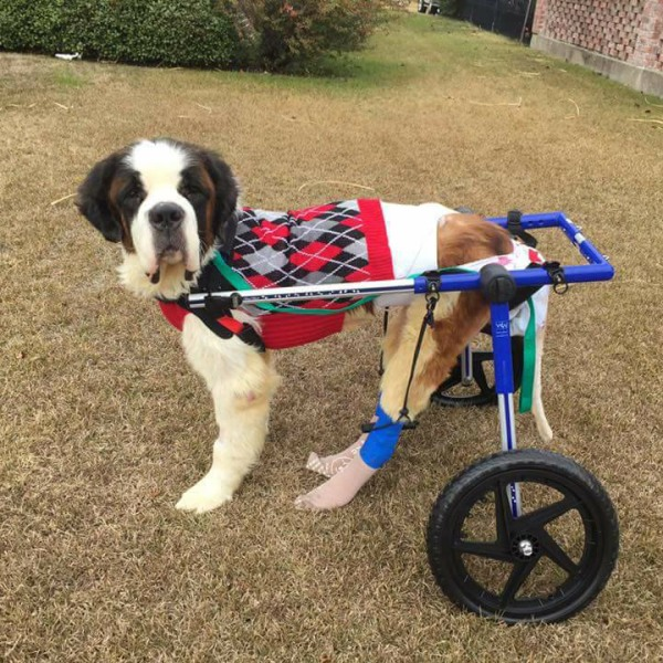 Dogs on wheels e man's mission to help injured dogs