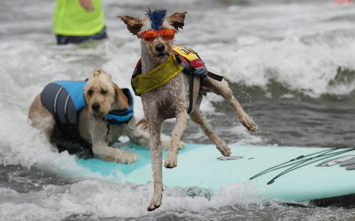 Dogs catch some waves in 2nd annual World Dog Surfing Championship