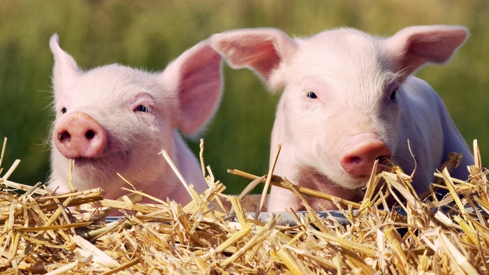 piglets saved from fire served as sausages to firefighters