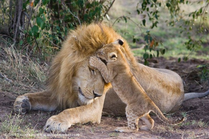 Dad's roaring with pride: The heartwarming moment an adorable lion ...