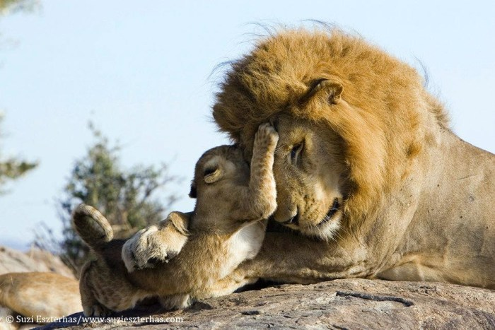 Father and son lions, Masai Mara, Kenya - Notch was a great lion ...