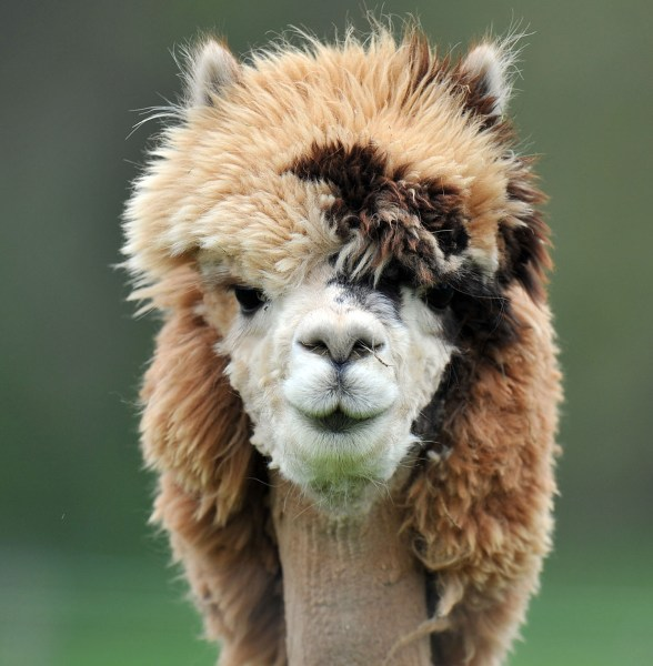 Alpaca Stories--Just for Fun! - Magazine cover