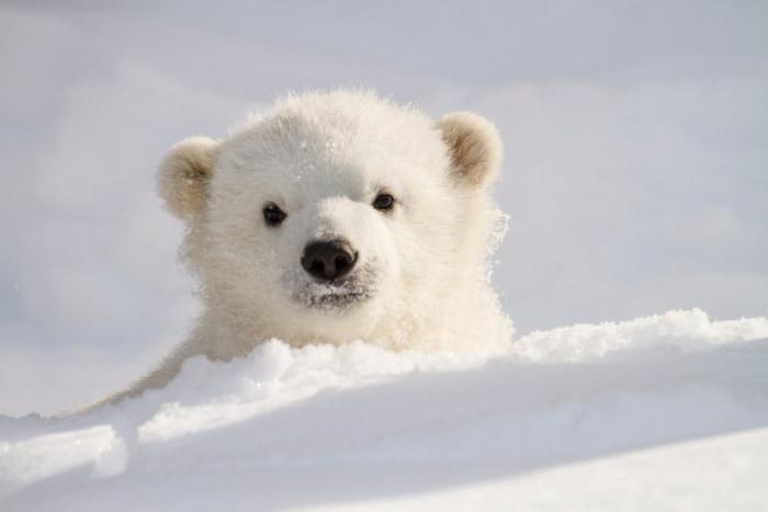 Kali, polar bear