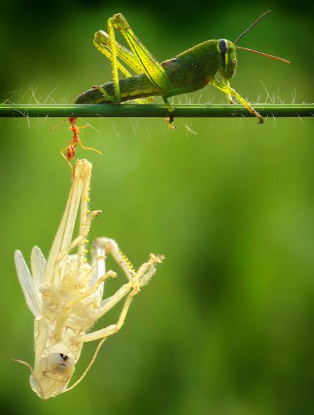 Ant holds grasshopper.
