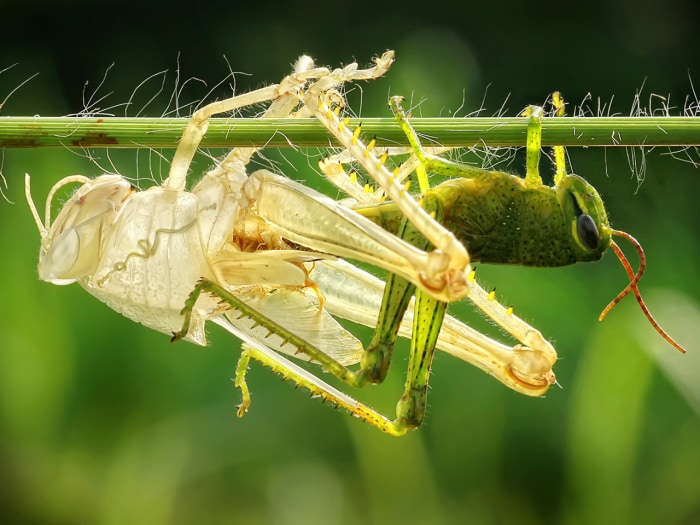 Grasshopper emerges from its old skin.