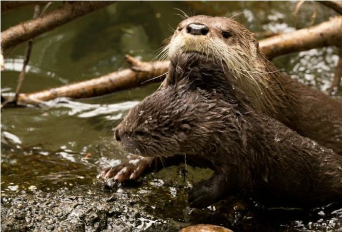 Mom Tilly gives 2-month-old Molalla a swimming lesson.
