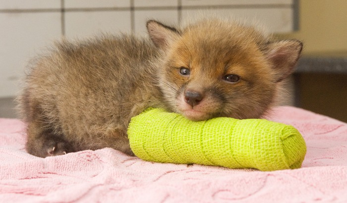 Image: Fox cub in a cast