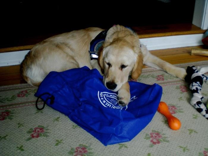 Golden retriever Isaiah waits to board his plane to Boston.