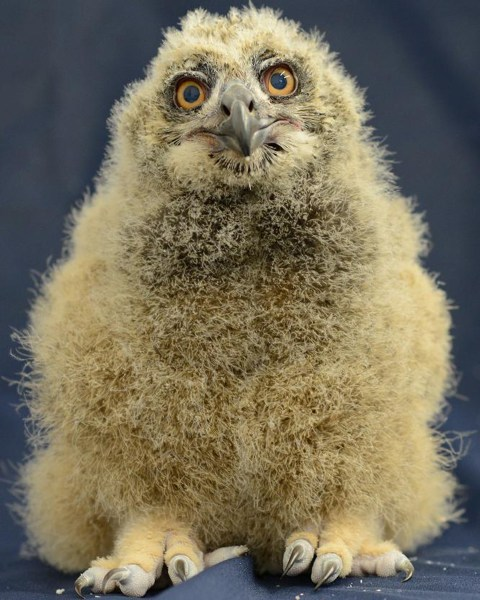 National Aviary Say hello to our baby Eurasian eagle-owl! oh - and it's a GIRL!  She was born on March 13th to X and Dumbledore and weighed 49.5 grams...