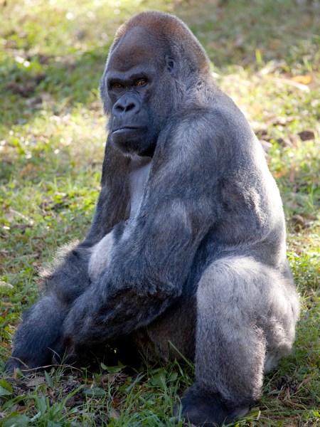 Oldest gorilla turns 52.