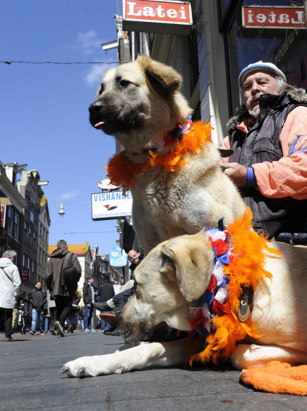 epa03681183 Two dogs wear 'Oranje' (orange) items in an Amsterdam street in anticipation of the upcoming investiture of the country's new King, in Ams...