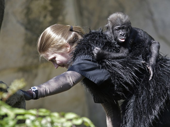Ashley Chance carries a three-month-old western lowland gorilla named Gladys in the outdoor gorilla exhibit at the Cincinnati Zoo for her first time T...