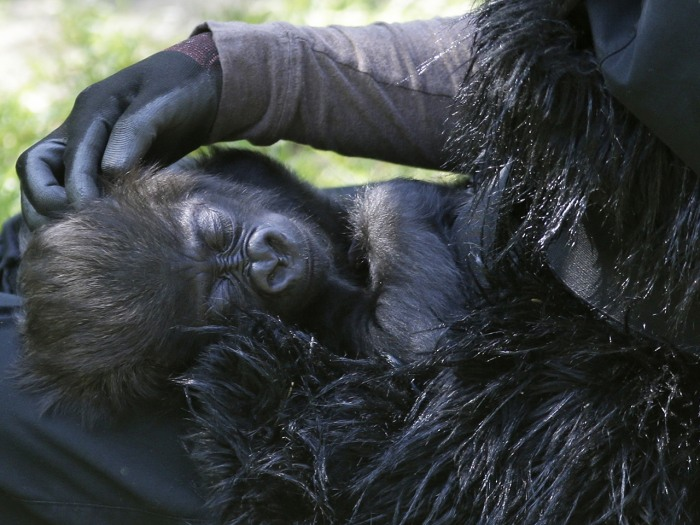 Ashley Chance pets a three-month-old western lowland gorilla named Gladys as she sleeps in her lap Tuesday, April 30, 2013, at the outdoor gorilla exh...