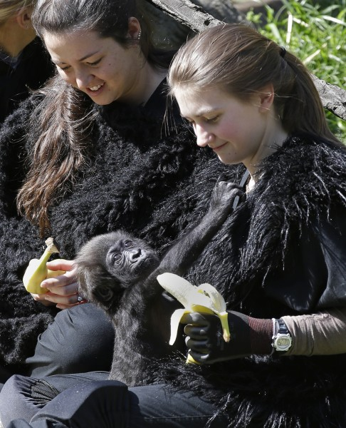 Ashley Chance holds a banana for a three-month-old Western Lowland gorilla named Gladys in the outdoor gorilla exhibit, Tuesday, April 30, 2013, in Ci...