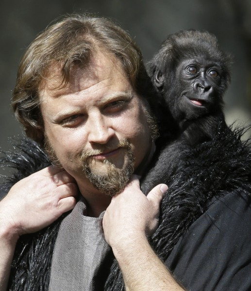 Silverback and primate center team leader Ron Evans carries a three-month-old western wowland gorilla named Gladys into the outdoor gorilla exhibit fo...