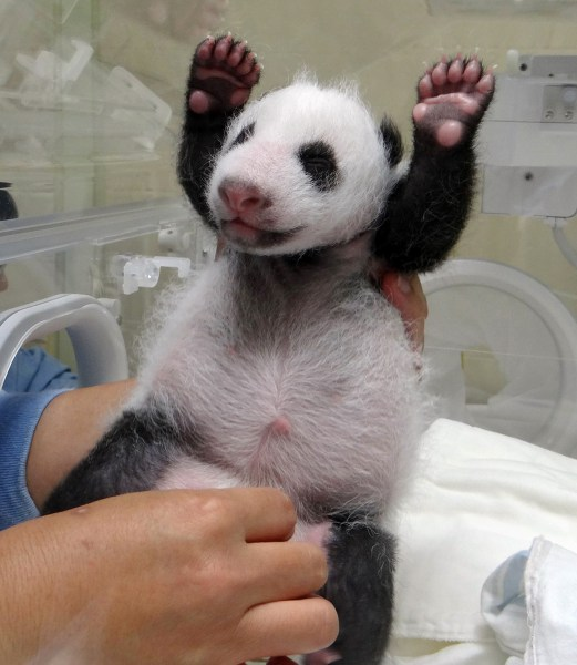 The panda cub gets an exam. Is that a smile?