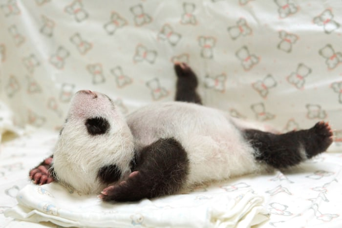Where's the camera? The panda cub sprawls out on her blanket.