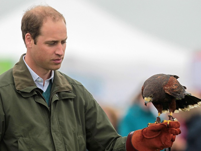 Britain's Prince William takes part in a falconry display as he attends the Anglesey Show in North Wales on August 14, 2013. The Anglesey Show is the ...