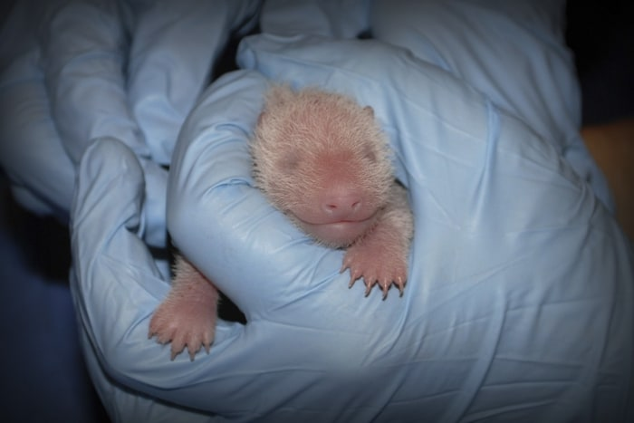The giant panda cub born 5:32 p.m. on August 23, 2013 at the Smithsonian's National Zoo is pictured receiving an exam from animal care staff at 8:56 a...