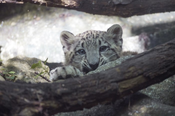 Image: Leo the snow leopard