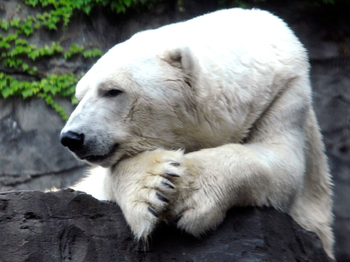 This Aug. 14, 2012, photo provided by the Wildlife Conservation Society shows the polar bear Gus at the Central Park Zoo in New York. The Wildlife Con...