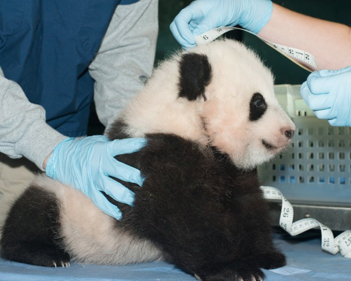 Bao Bao was measured by the National Zoo staff just before she turned 100 days old.