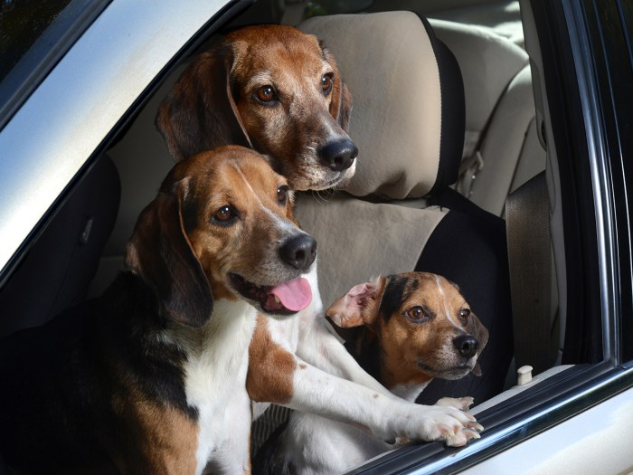 Image #: 25848733    ***EXCLUSIVE***  LOS ANGELES, CA - UNDATED: Three pocket beagles lean out of a window in Los Angeles, California.  A WACKY photog...