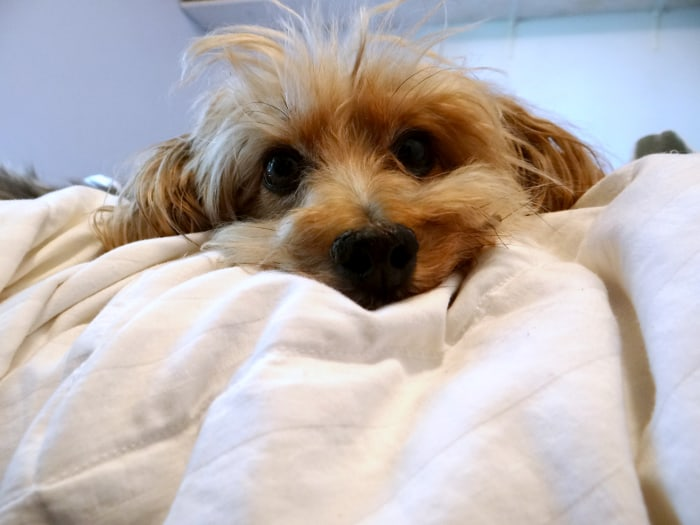 Image: Small dog on bed