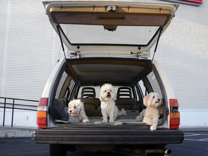 Three poodles sit in the trunk.