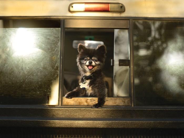 A toy Pomeranian in a bus window.