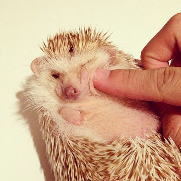 Meet Darcy, 'the most famous hedgehog in the world ...