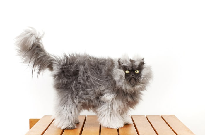 In this Monday, Dec. 3, 2012 photo provided by Guinness World Records, Colonel Meow, the cat with the longest fur, poses for a photo in Los Angeles. C...
