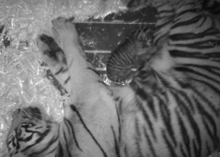 endangered tiger born at san francisco zoo