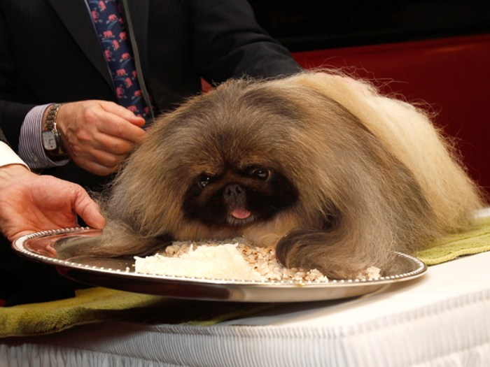 Malachy, winner of the Best-in-Show at the 136th Westminster Kennel Club Dog Show, eats chicken and rice at Sardi's Restaurant.