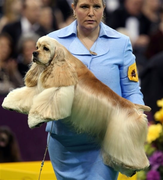 Handler Stacy Dohmeier carries Tucker, an A.S.C.O.B Cocker Spaniel, Feb. 12, at the Westminster Kennel Club Dog Show.