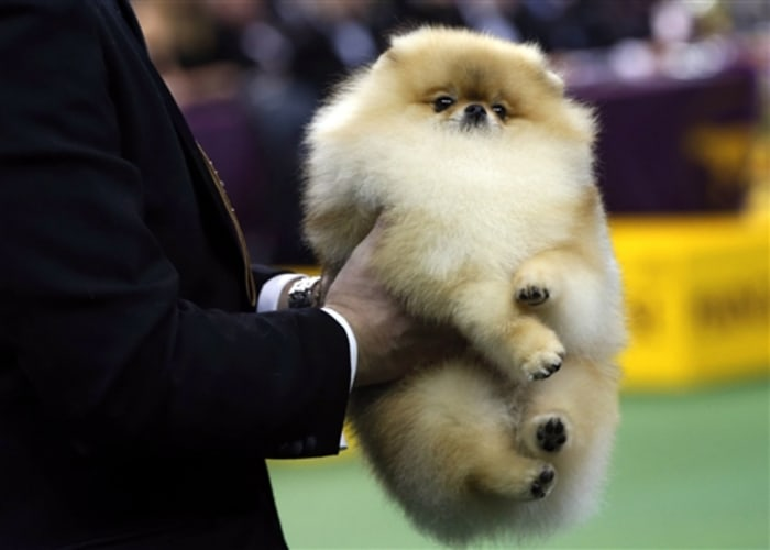 A Pomeranian is carried by its handler to be judged during competition in the Toy Group at the 137th Westminster Kennel Club Dog Show, Feb. 11.