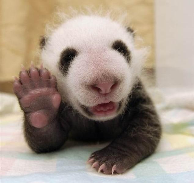 This baby panda is jazzed for the new design of TODAY Pets!