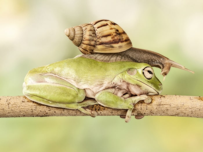 This snail enjoys a long game of leapfrog as it takes eight minutes to calmly climb over a croaker before reaching its destination.  The frog is enjoy...