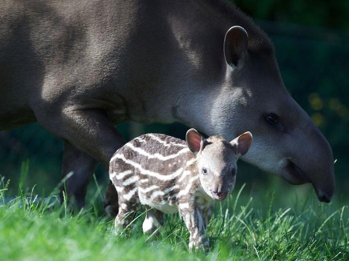 Tapir, Dublin Zoo